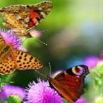 borboletasw